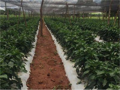 Baja cotización de locote angustia a horticultores nacionales