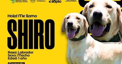 La Nación / Adopción responsable: agentes caninos de la Senad pasan a retiro y buscan nuevas familias
