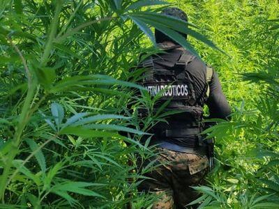 Senad destruye 10 hectáreas de marihuana en Pedro Juan Caballero