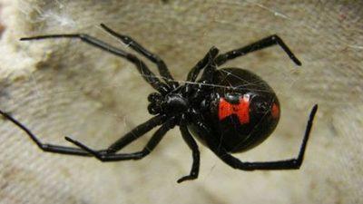 Salud advierte sobre picadura de arañas potencialmente peligrosas