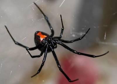 Murió el paciente internado por la picadura de una araña