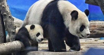 La Nación / Uno de los últimos grandes pandas de Taiwán aparece por primera vez ante las cámaras