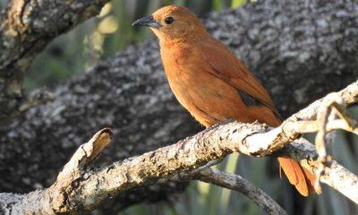 Las aves del Paraguay: notable reconocimiento al acervo natural