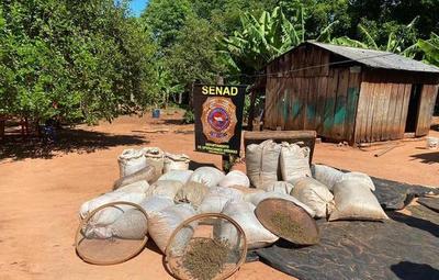 Canindeyú: Senad decomisa más de 8 toneladas de marihuana