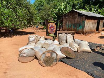 Senad decomisa cerca de 8,5 toneladas de marihuana y captura a traficante en Canindeyú