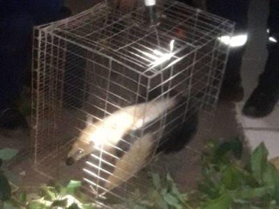 Rescatan a un oso hormiguero de lo alto de un árbol en Ciudad del Este