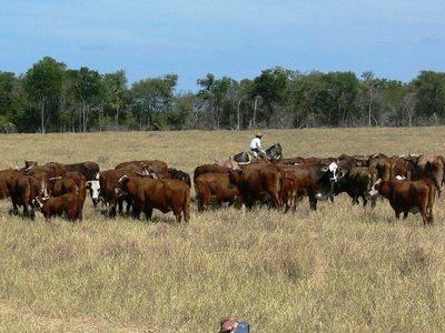 Según ganaderos, récord de exportación de carne no se refleja en el campo