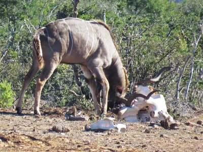 Un antílope 'se bate en duelo' con un cráneo de elefante y acaba enredado