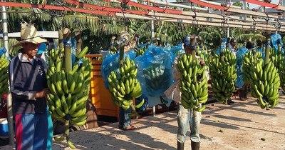 La Nación / Ingresos por exportaciones de banana superaron US$ 15,6 millones