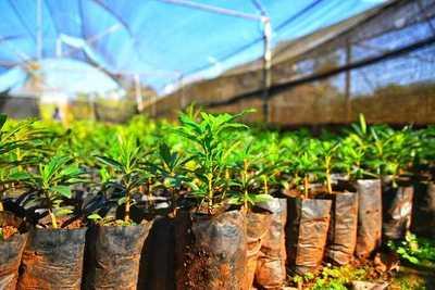 Vivero de Itaipu produjo más de 1.300.000 plantines forestales y frutales en el 2020