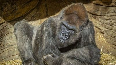 Se registran primeros casos de contagio con coronavirus en gorilas de EE.UU.
