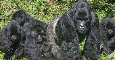 La Nación / Dos gorilas de zoológico en el oeste de EEUU dan positivo al COVID-19