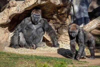 Gorilas del Zoológico de San Diego (EE. UU.) se enferman de covid-19
