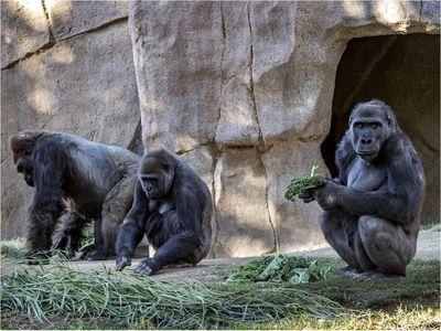 Gorilas del Zoológico de San Diego se enferman de Covid-19