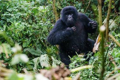 Dos gorilas de zoológico en el oeste de EE.UU. dan positivo al covid-19