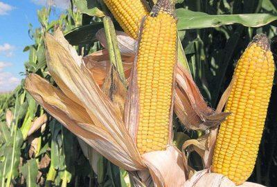 Informe del USDA con sorpresas para el maíz y la soja