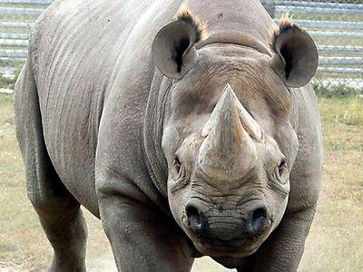 Muere un rinoceronte negro, el más adulto de Norteamérica