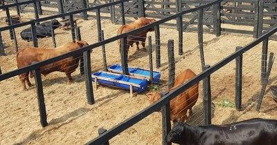 La Nación / Resaltan logros de la brangus: ocupa el 41% de animales registrados en el hato ganadero