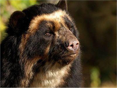 Avistan osos de anteojos en la ciudadela inca de Machu Picchu