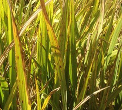 Maleza graminea llamada arroz rojo es fuente de infección para sobrevivencia de hongos que causan enfermedades en arroz