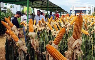"""Uruguay, un mercado """"interesante"""" para el maíz paraguayo"""