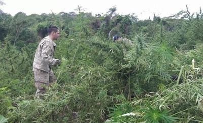 Destruyen cassi 10 toneladas de marihuana en Caaguazu