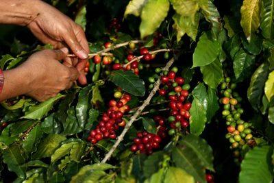 Brasil recogerá este año una cosecha de café en hasta 30 % menor a la de 2020
