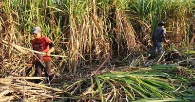 La Nación / Cañicultores de Caaguazú iniciaron el año con buenas perspectivas