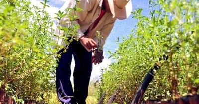 La Nación / Paraguay lidera producción de stevia y exportación de energía limpia a nivel mundial