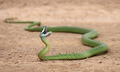 Paraguay tiene casi 130 especies de serpientes y solo 10% son venenosas
