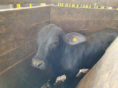 Menos oferta sigue empujando al alza el precio del ganado gordo