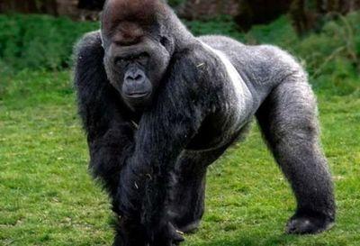 Gorila tratado con anticuerpos sintéticos superó caso grave de Covid-19 en EEUU