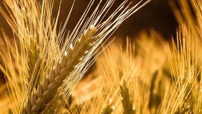 Exportaciones de trigo siguen retraídas