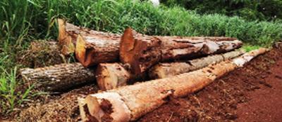 Constatan una tala indiscriminada de árboles nativos en reserva de Yguazú
