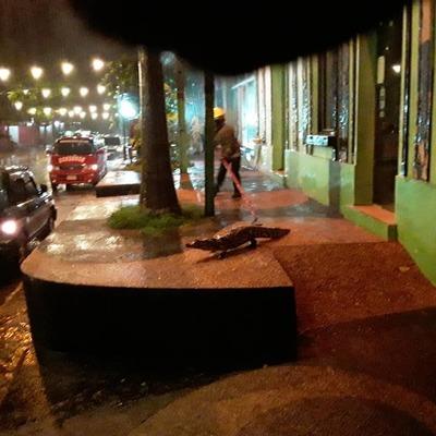 """Siete yacarés salieron """"de paseo"""" por las calles céntricas de Itá"""