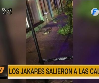 Yacarés salieron a las calles de Itá tras intensa lluvia