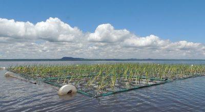 Evalúan uso de islas flotantes vegetadas para recuperación de lago