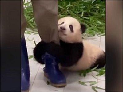 Video de bebé panda aferrándose a su cuidador arrasa en redes sociales