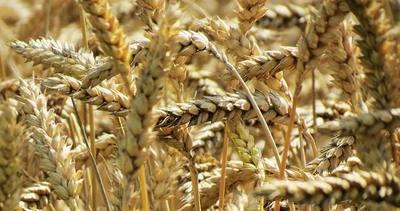 Envío de cereales cayó 20% en 2020