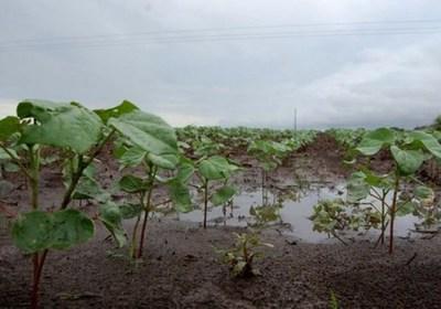 Las persistentes lluvias agravan el atraso de la cosecha masiva de soja