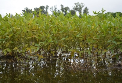 Intensas lluvias están afectando calidad de la primera cosecha de soja