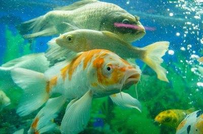 México produce más de 20 millones de peces de ornato anualmente