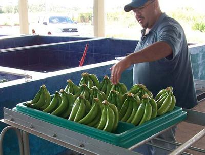Productor de banana de Juan E. O'leary provee con éxito al mercado local y argentino