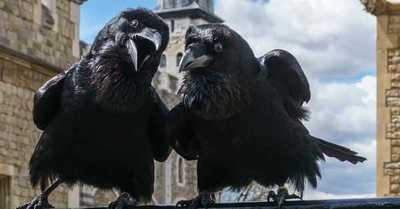 La desaparición de un cuervo que augura la caída de la reina Isabel II
