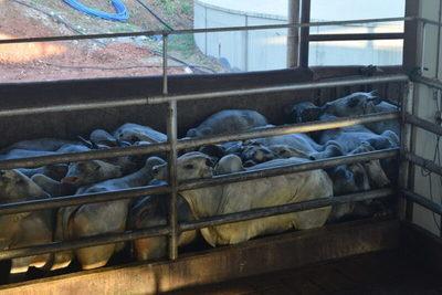 Machos alcanzan los US$ 3,30 y vacas los US$ 3,10 por kilo carcasa