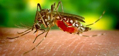 Científicos argentinos descubren la estrategia del virus del zika para evadir al sistema inmune