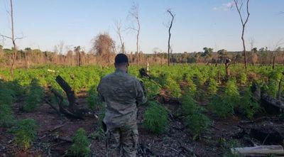 Destruyen seis toneladas de droga en Caaguazú