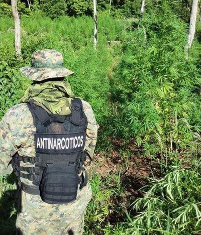 """Destruyen un """"marihuanal"""" ubicado en el distrito recién creado de Cerro Corá"""