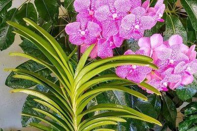 Se importa el 90% de las orquídeas comercializadas en el país