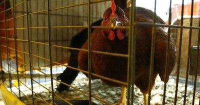 La Nación / Francia: virus de gripe aviar no representa peligro para humanos